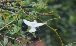 White Sparrow Flight.jpg