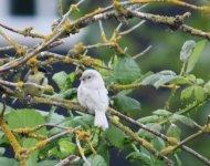 White Sparrow.jpg