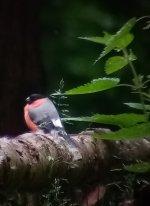 Bullfinch Friedlos.jpg