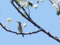 Tree Pipit 1 Karow.JPG