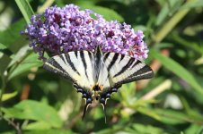Scarce Swallowtail it 1.jpg