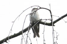 flycatcher_ad_query.JPG