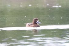 Greater Scaup or Tufted Duck_4.jpg