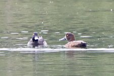 Greater Scaup or Tufted Duck_5.jpg
