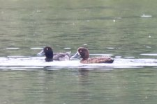 Greater Scaup or Tufted Duck_6.jpg