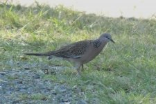 BF Spotted Dove thread.jpg