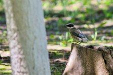 Azure-Winged Magpie (fledgling) (1).jpeg