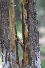 Woodpecker's work - probable Grey-Headed Woodpecker.jpeg