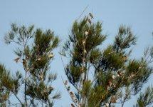 BF Chestnut-breasted Mannikin flock thread.jpg