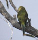 BF Elegant Parrot thread.jpg