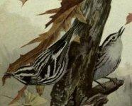 black and white warbler.jpg