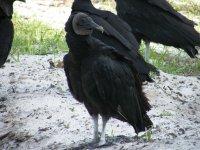 B Vulture.jpg