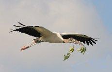 Wood Stork 3 Edited.jpg