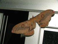 Opodiphthera fervida  poss.jpg