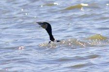 Great Cormorant (1).jpeg