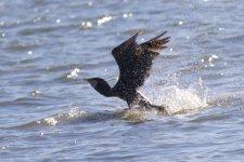 Great Cormorant (2).jpeg
