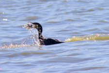 Great Cormorant.jpeg