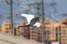 Great Egret.jpeg