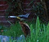 WILD 21,9,18 grey wagtail, pond close up screen shot 31.png