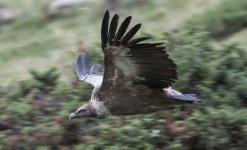 Griffon Vulture in flight Sep 21_29.jpg