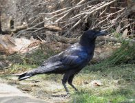 BF Australian Raven ABC thread.jpg