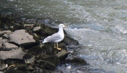 IMG_4396a Yellow-legged Gull 10 Oct 2016 Rome.jpg