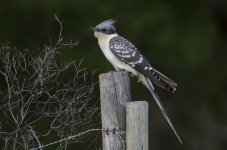 Great Spotted Cuckoo.jpg
