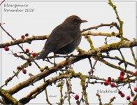 BF Blackbird ABC thread.jpg