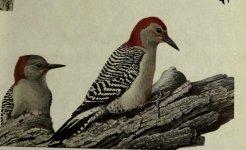 Red bellied woodpecker.jpg