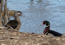 Wood Ducks.jpg
