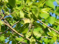 Philly Vireo.jpg