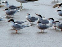Common Terns.jpg