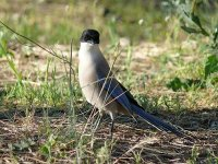 L1270429_Azure-winged Magpie.jpg