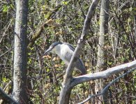 BC Night heron.jpg
