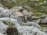 L1280181_Water Pipit.jpg