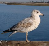 Ring-billed Gull.jpg