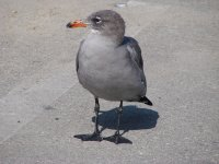 heerman's gull.JPG