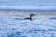 Great Northern Diver (R).jpg