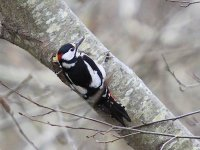 IMG_9786_Great Spotted Woodpecker.jpg