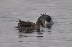 Barnes WWT Northern Pintail 1.jpg