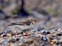 IMG_0533_Snow Bunting in the gale.jpg