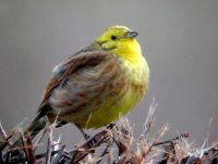 yellowhammer digizoom 2.jpg