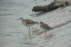ruff and redshank.jpg