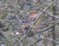 Bookham Common Hawfinch 2.jpg