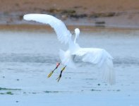 Little Egret 008.jpg