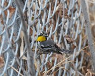 Canyon Lake 1-23-2010 Yellow Throat 048.jpg