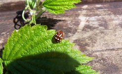 Cream Spot Ladybird 002 (Medium).jpg