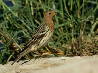 Red-throated Pipit 2566.jpg