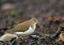 Common Sandpiper BF2.jpg