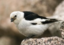 Snow Bunting, summer plumage male8.jpg